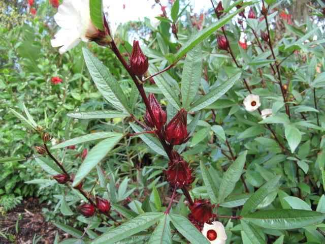 hibiscus-roselle