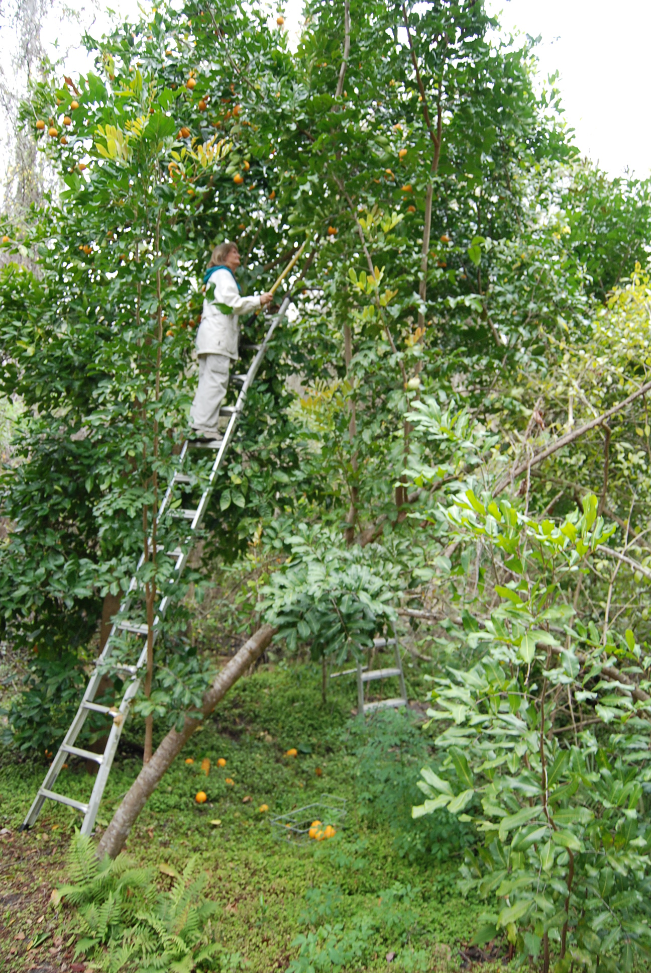 orange-tree-harvesting